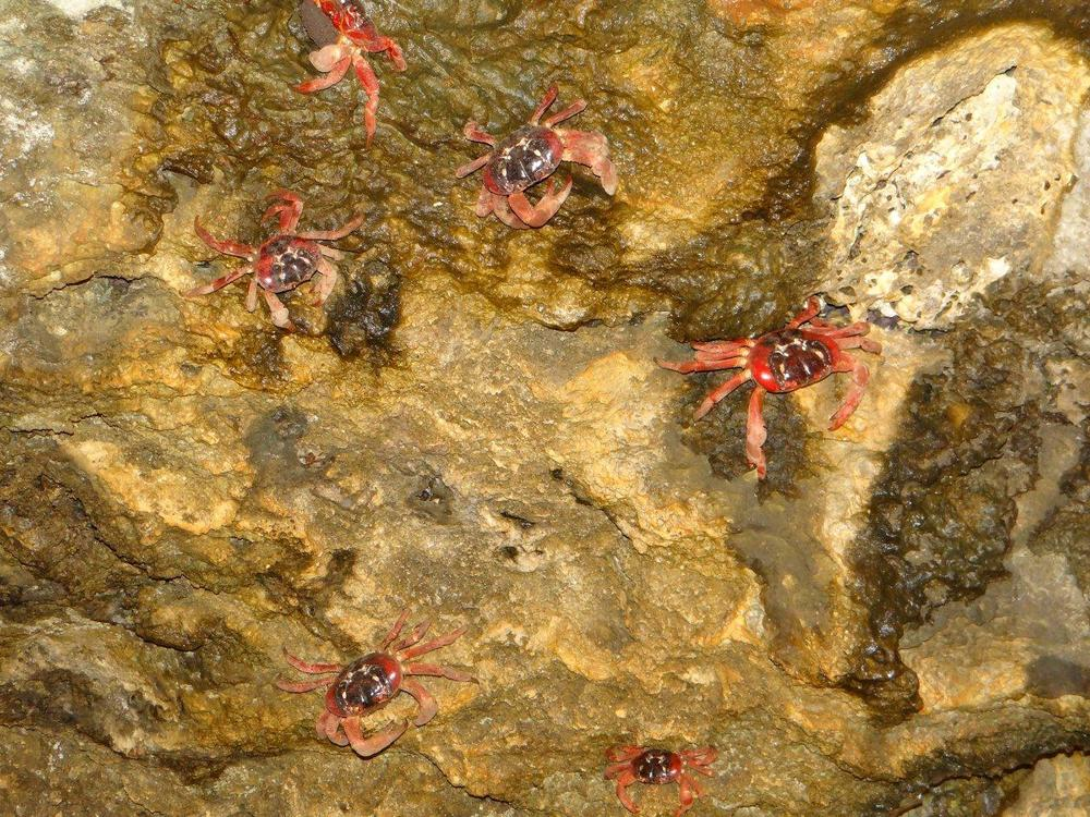 Christmas Island red crabs spawn · Parks Australia Blog Archive